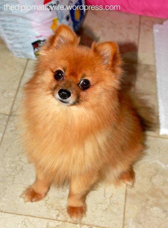 Pomeranian Diplo Dog